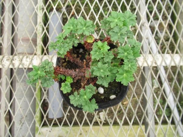 geranium-karmina