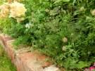 trifoliumarvenserabbitfootclover