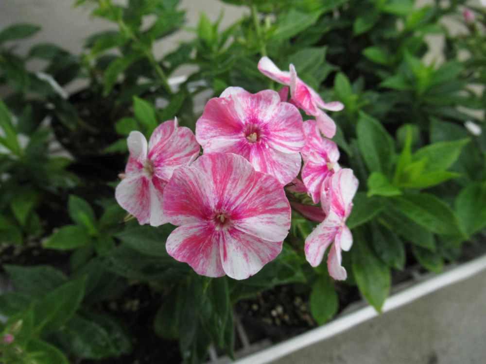 phlox pink