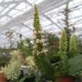 agastache nepetoides アガスタチェの開花苗です。