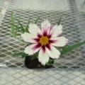 コレオプシス スタークラスターの花です。