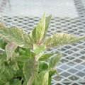 斑入りのムラサキシキブの苗を販売してます。