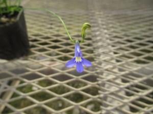 ロベリア パラシオンブルーの苗を販売しています。