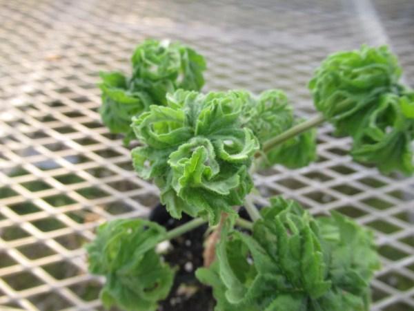 pelargonium003