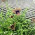 茶色の花のモノプシス。