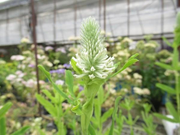 trifolium001