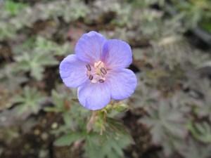 ゲラニウム ダークレイターの花です。