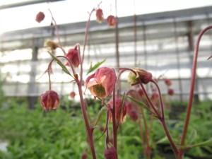 ゲウム リバレ の花です。