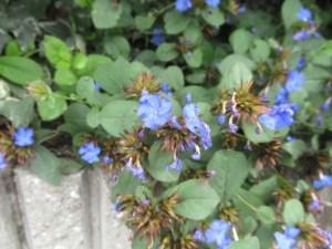 ルリマツリモドキの花