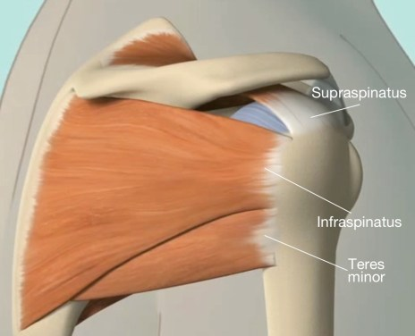 the-rotator-cuff-is-a-group-of-muscles-and-tendons-very-important-for-the-function-of-the-shoulder