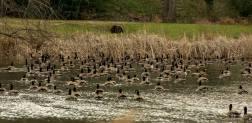 shouse-pond-birds