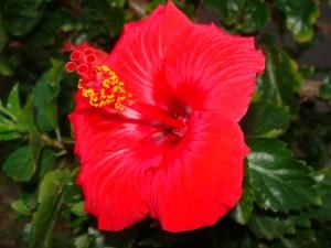 奄美大島のゲストハウス「昭和荘」の庭のハイビスカス