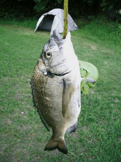 奄美大島ゲストハウス「昭和荘」のレンタル釣りセットで釣ったクロダイ
