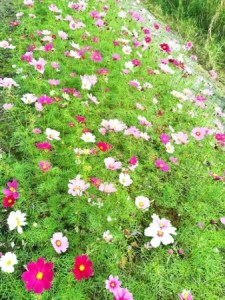 冬に阿木名川沿いに咲くコスモス