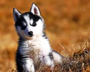хаски цена щенка в рублях 2016