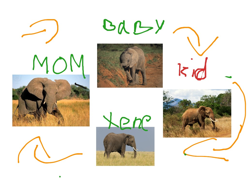 Lion Life Cycle 4 Stages