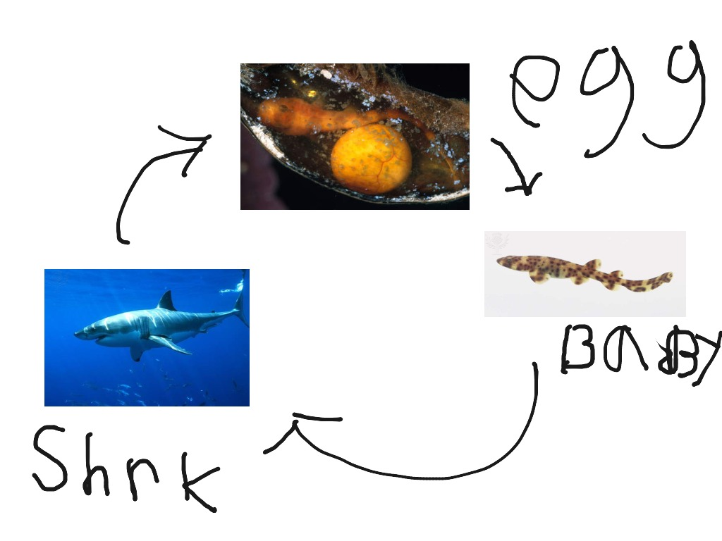The American Mastermind Life Cycle Of A Shark