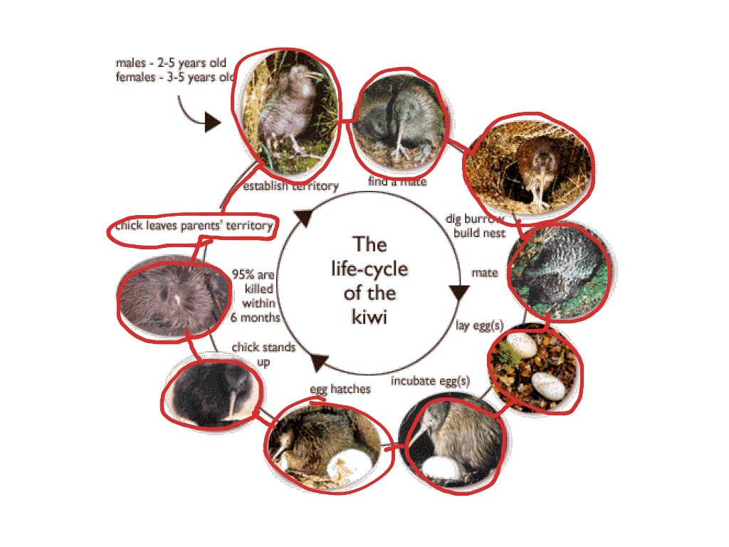 Life Cycle Of Kiwi