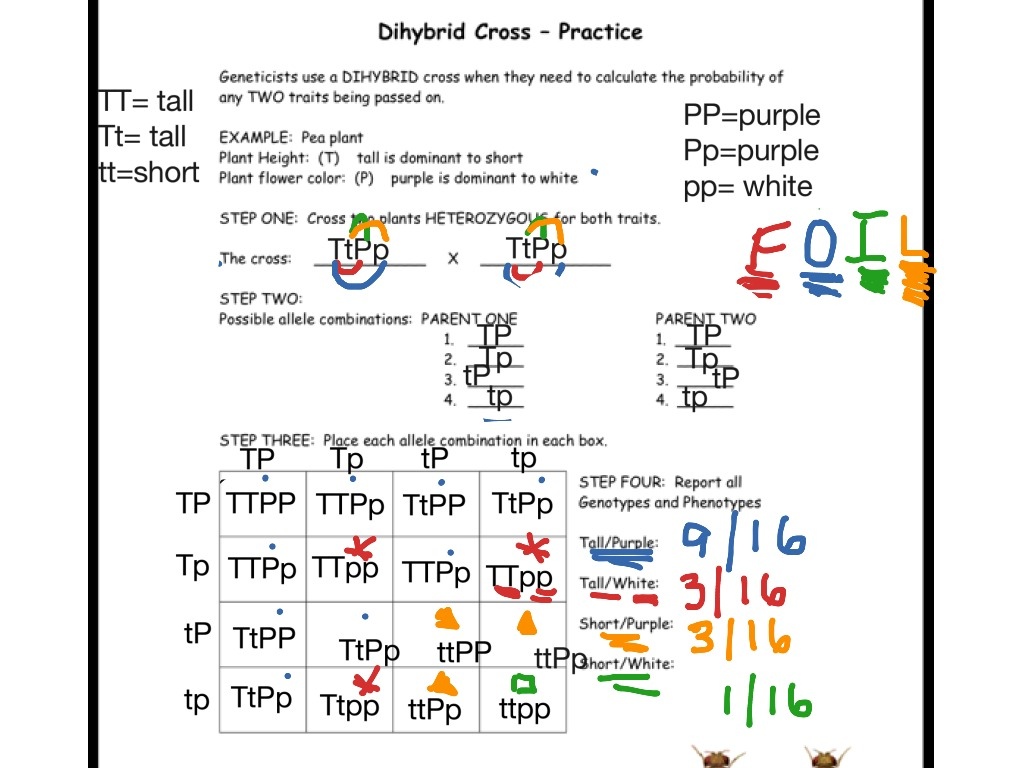 Worksheet Dihybrid Punnett Square Worksheet Worksheet