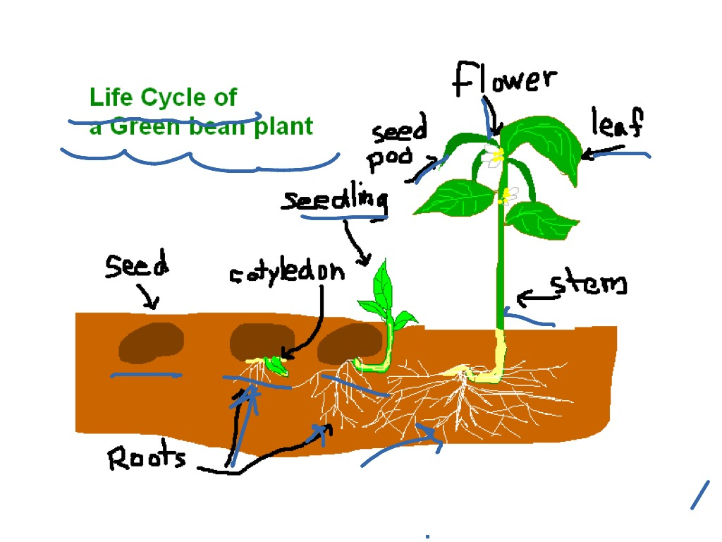 Life Cycle Of A Green Bean Plant