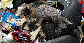 September 2009 raid revealed this dead dog on a pile of trash at a Rolla, Mo. puppy mill