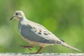 Mourning Dove. Zenaida macroura. Canon 5D III, 2.8 70-200 mm, 2x III. F 5.6, 1/800, ISO 800, 400 mm.