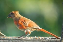Cardinal. Cardinalis cardinalis. Canon 5D III, 2.8 70-200 mm, 2x III. F 5.6, 1/320, ISO 800, 400 mm.