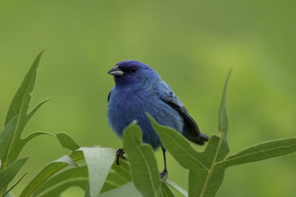 A Naturalist Voice
