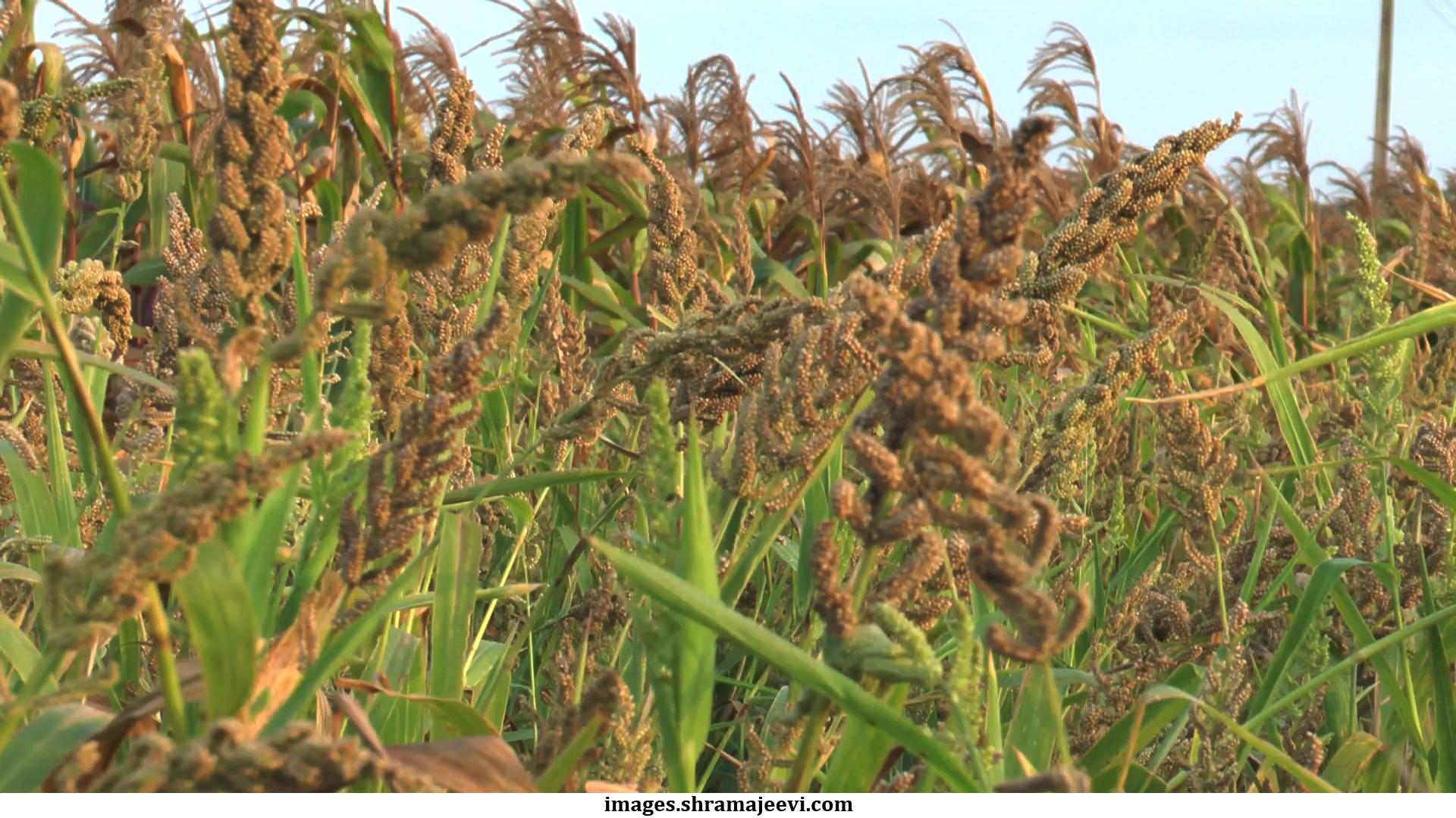Image result for barnyard millet images