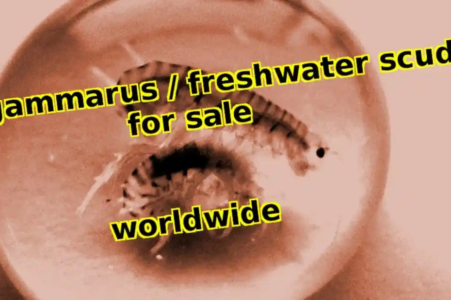 Gammarus / Scuds / Freshwater Amphipods for sale