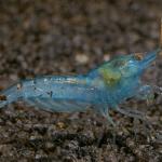 Blue Pearl Shrimp