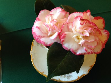 Pink and white camellias