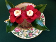 red and white camellias