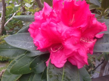 Easter rhodo closeup