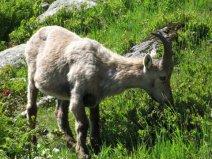 Day 6, Tour du Mont Blanc, ibex