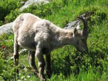Day 6, Tour du Mont Blanc, ibex