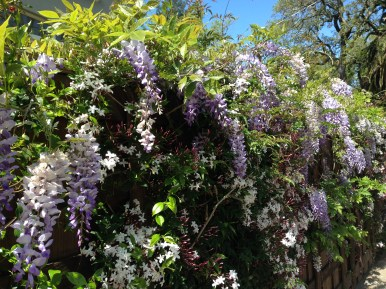 Wisteria and Jasmine around town April 2016