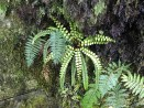 Fern on Routeburn Track