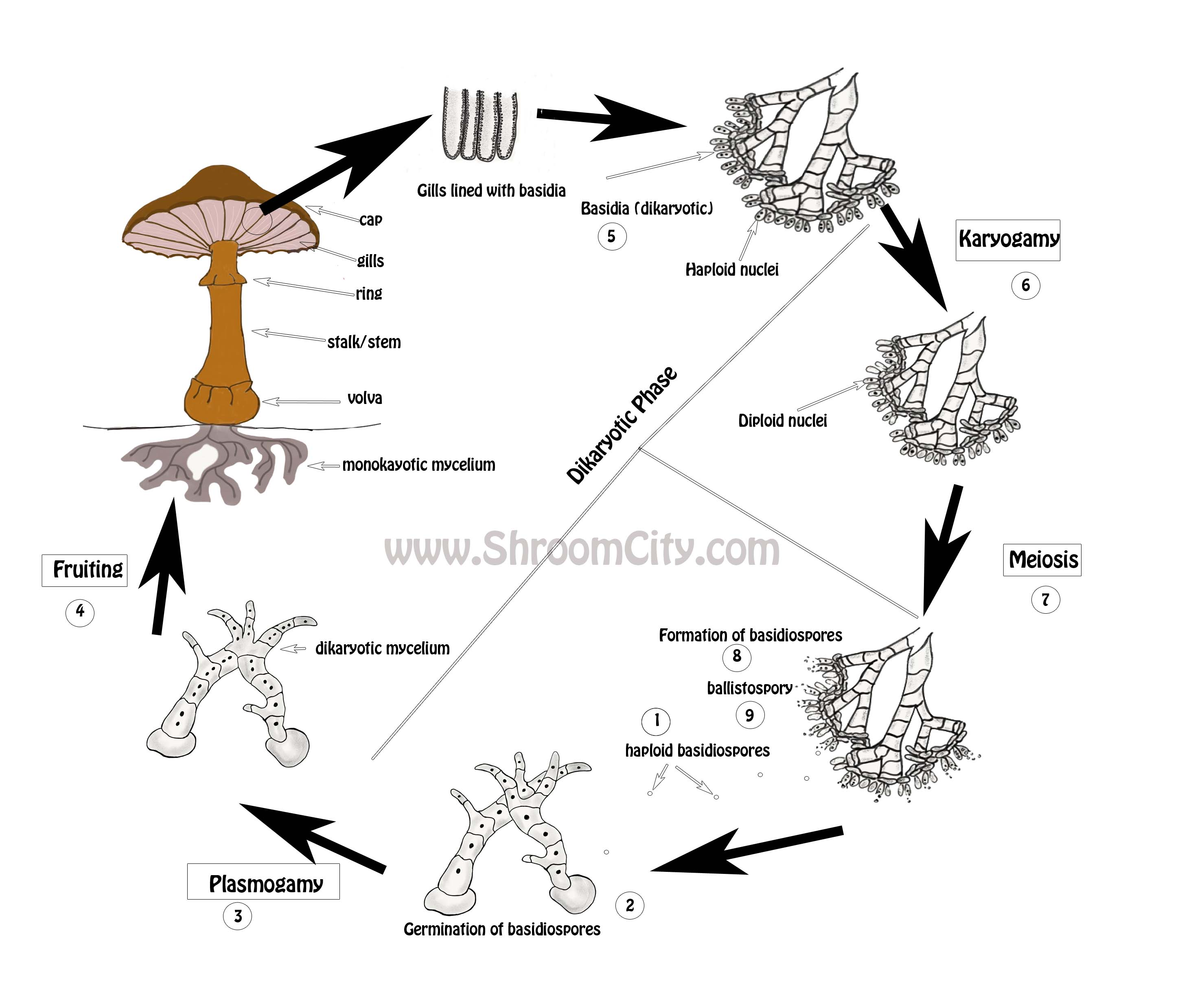 The Mushroom Life Cycle