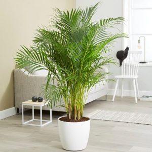 Areca-Palm-Tree