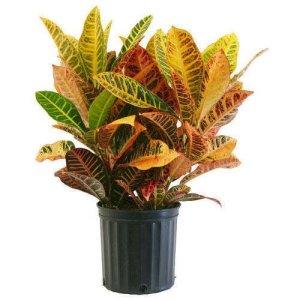 croton-plant-500x500