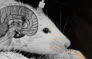 rats-human-brains
