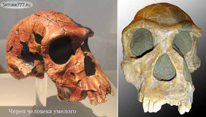 Homo habilis-1
