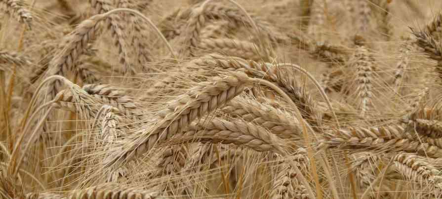 Organic Wheat in Gujarat