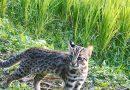 友善農地 苗栗種植「石虎米」 推廣保育