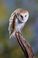 Barn Owl 2-0601