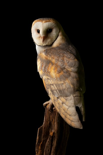 Barn Owl - 2110