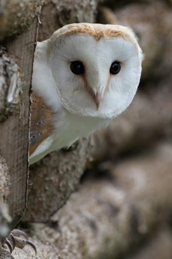 Barn Owl-2796b