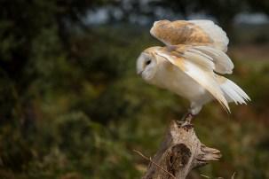 Barn Owl-7413