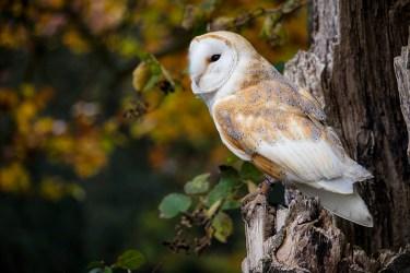 Barn Owl_0184
